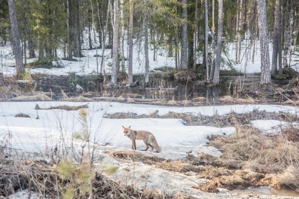 В Нарьян-Маре объявили карантин из-за бешеной лисицы